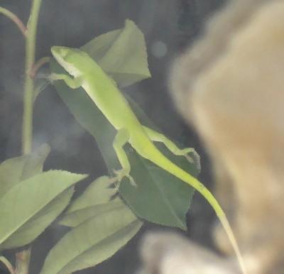 lounge_lizard.jpg